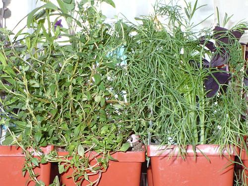 Dave's indoor herbs