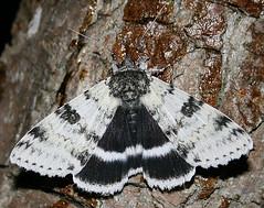 White Underwing, Catocala relicta