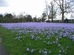 A crocus carpet at Kew Gardens
