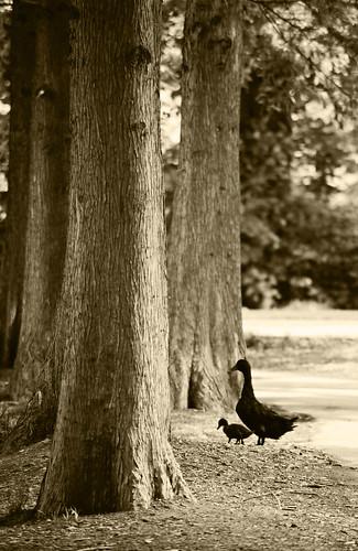 ducks Pied