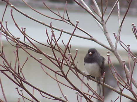 Bird in Dogwood