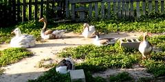 Big fat geese at Greenwood Farms