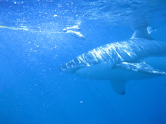 Great White Shark at Isla Guadalupe