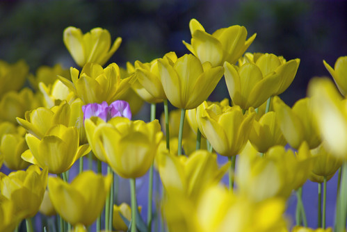 yellow tulips and purple tulip from Istanbul Tulip Festival, Istanbul, Pentax K10D