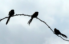 Long-tailed Tits - silhouette