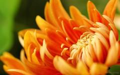 wallpaper chrysanthemum by trebol_a, on Flickr