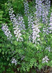 false indigo plant close up