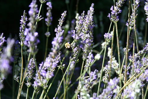 Bumble in the Lavender