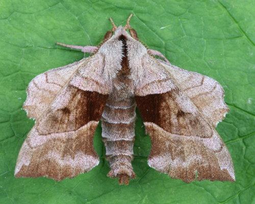 7827 - Amorpha juglandis - Walnut Sphinx