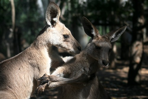 Kangaroos chatting, perhaps?