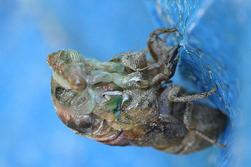 cicada8