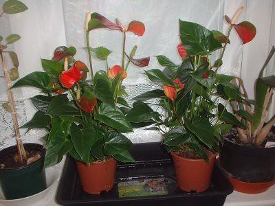 both my Anthurium plants