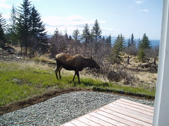 moose off the deck