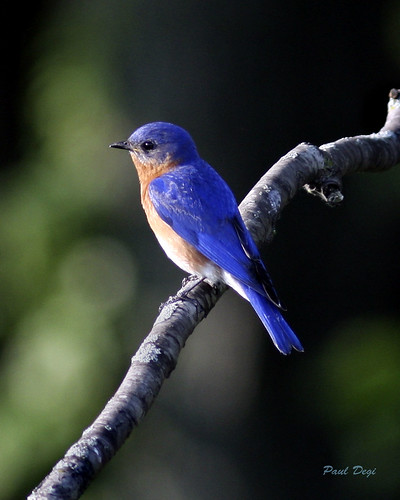 Michigan Bluebird