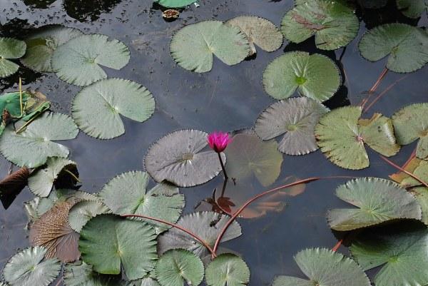 Flor de loto en la Tumba de Tu Duc