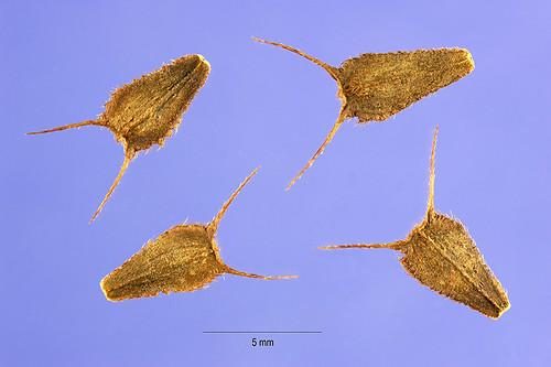 Beggarticks Seeds from USDA Website