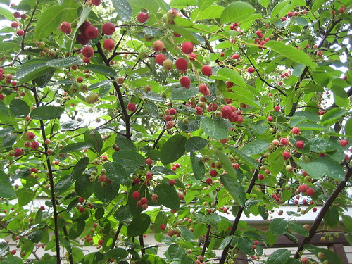 Serviceberries - a robin's buffet