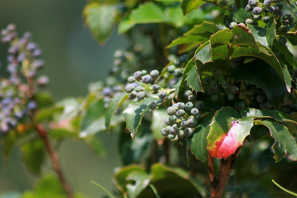 oregon grape (tall)