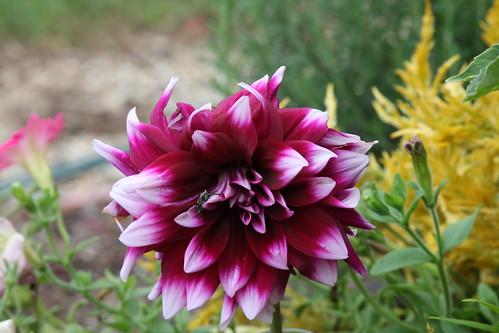 Dahlia - my second favorite flower