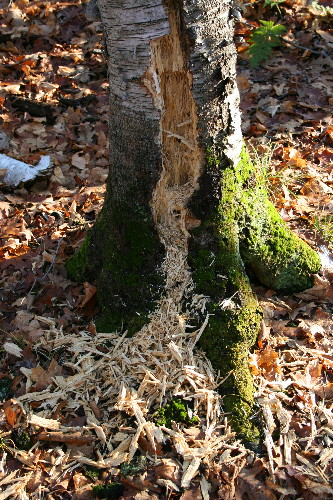 Pileated Woodpecker excavations