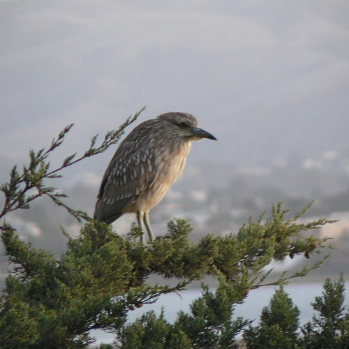 Juvenile Night Heron