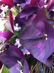 Purple Clovers