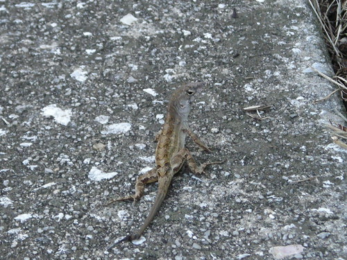 This anole regrew his tail.. is it logical to sacrifice your tail to save your life?