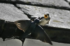 Young Swallows - 2