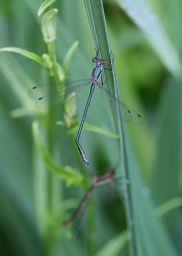 Emerald Spreadwing - male and female