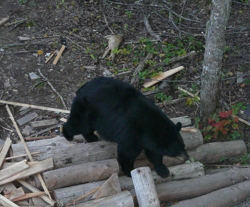 Bear on logs