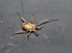 Short-legged harvestman