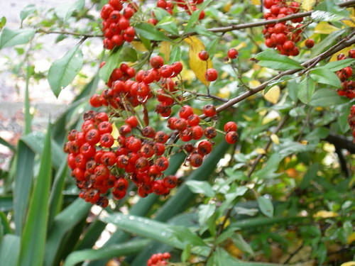 Pyrecantha berries