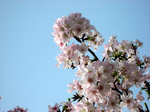 blossoms3