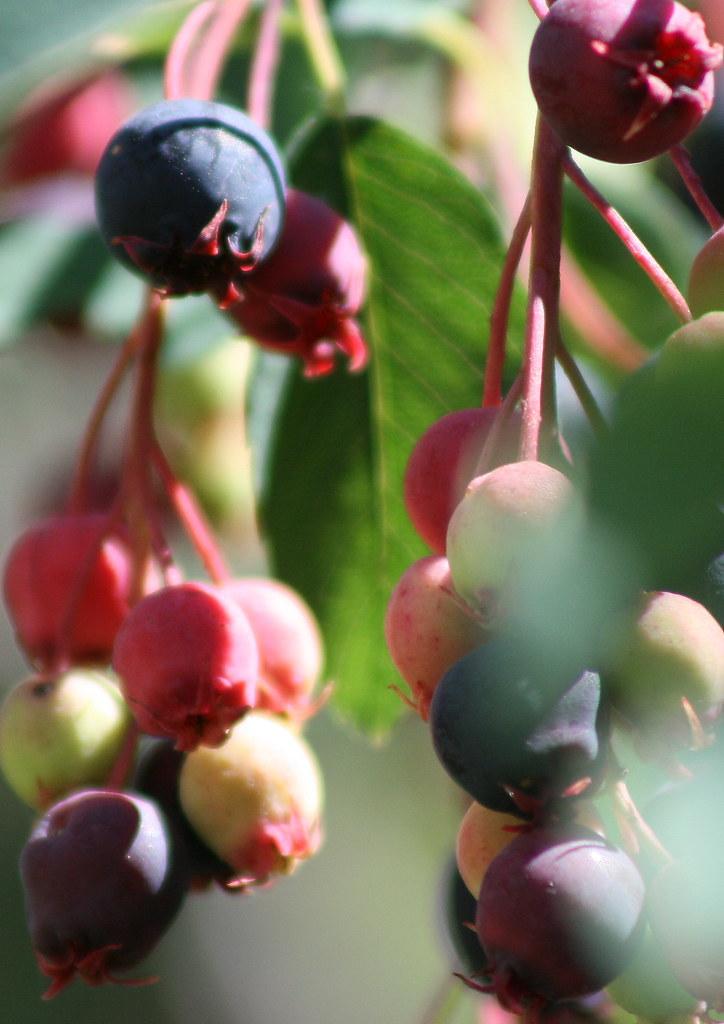 western serviceberry