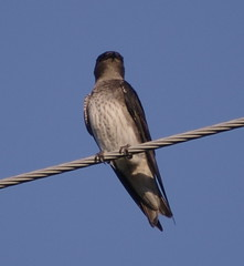 Purple Martin by Toni Kelly