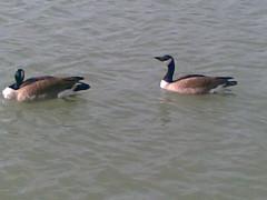 Ducks, UB, south lake