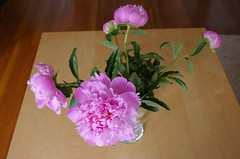 Peonies - Day 3