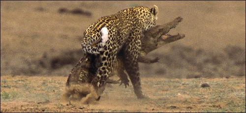 leopardandcroc