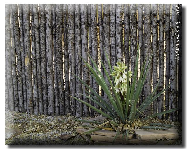 Baby Yucca