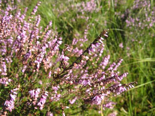 Heather or Ling (Calluna vulgaris)