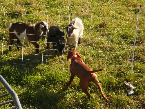 Gryfe meets goats