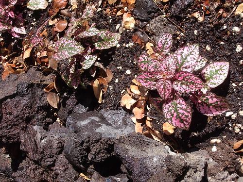 polka-dot plant
