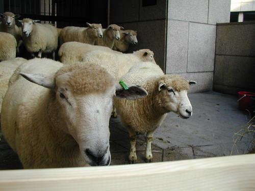Romney Ewes