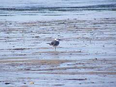 Bonaparte's gull? (Larus philadelphia)
