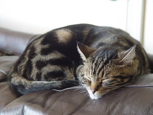Sleeping Cat....