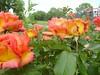 Roses Gorton Park