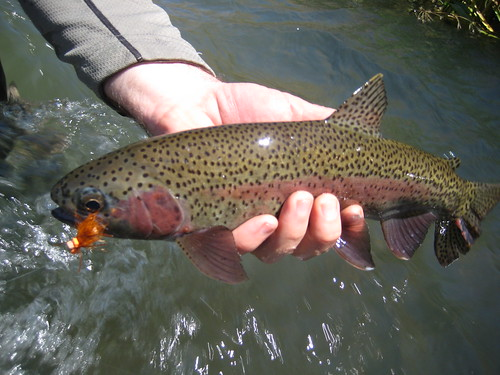Deschutes River Redside on a Salmonfly Dry