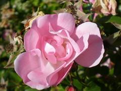 Trinidad rose