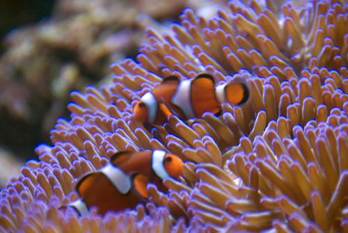 Una pareja de peces payaso en su anémona
