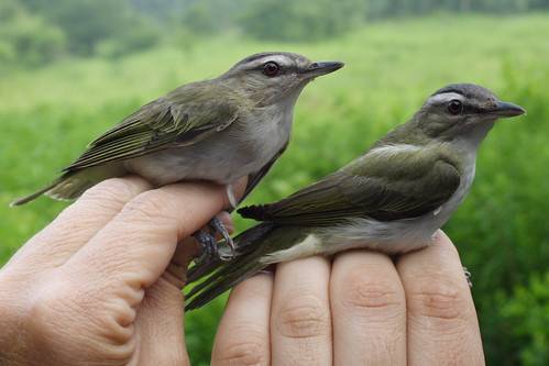 Red-eyed Vireo Pair
